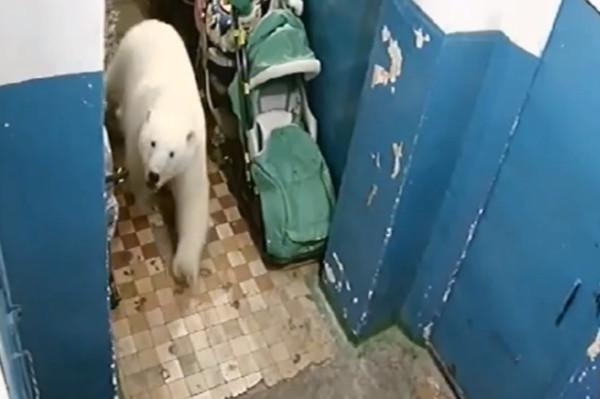 В Новой Земле белые медведи заходят в жилые дома людей. 15055.jpeg
