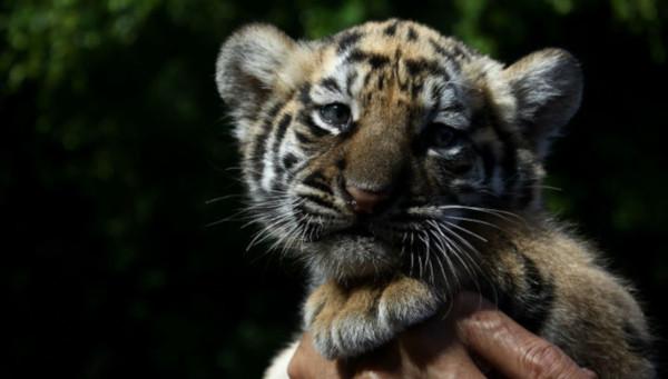 В Техасе мужчина спас тигрицу, оставленную в заброшенном доме. 15077.jpeg