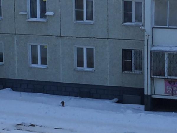Челябинский собаковод додумался выгуливать пса через окно. 15180.jpeg