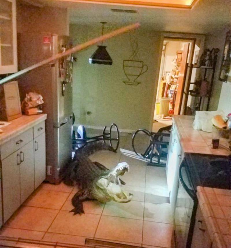 Крокодил, ворвавшись в жилой дом, уничтожил запасы вина. дом, квартира, крокодил, вино, Флорида