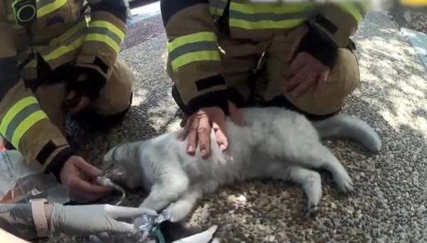 Австралийские спасатели откачали пару котиков, пострадавших при пожаре. Видео. дом, пожар, кошки, спасатели, Морнингсайд, штат Квинсленд, Австралия