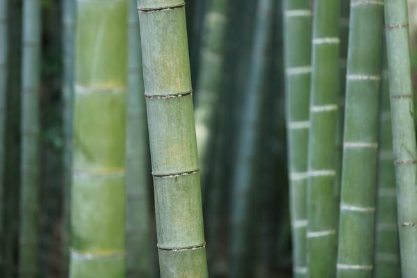 Бамбук: дело тонкое. 16417.jpeg