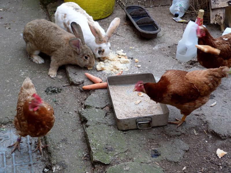 В Пятигорске жители многоэтажки пожаловались на кур и кроликов. 15512.jpeg
