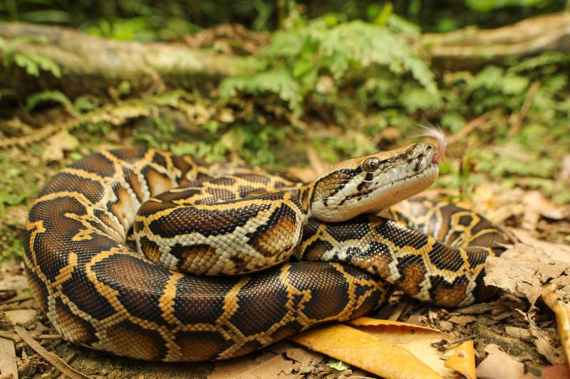 Аномально толстый питон забрался в кусты на участке и отказался вылезать. животные, рептилии, змея, питон, Австралия