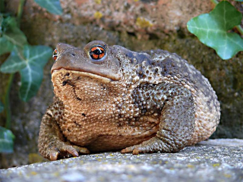 Ядовитые жабы, способные достигать огромных размеров, заполонили Флориду. 15650.jpeg
