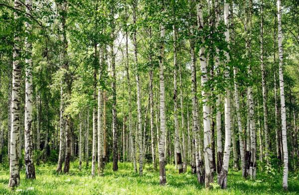 В центре Москвы высадят березовую рощу. деревья, березовая роща, Москва