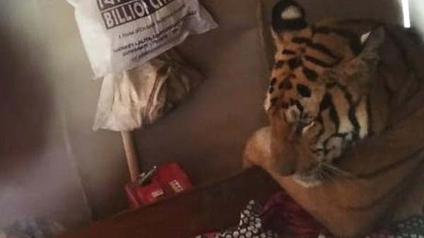 В Индии тигрица пришла в жилище и легла спать в постель. дом, отель, животные, тигрица, Индия