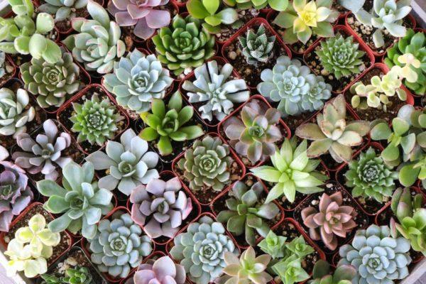 Необычные растения, которые можно посадить и вырастить дома (часть 2). 14920.jpeg