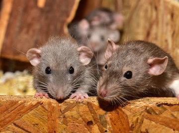 Жителей дома на пр.Пролетарский в Сургуте атаковали крысы