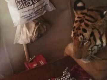 В Индии тигрица вошла в дом и уснула на кровати