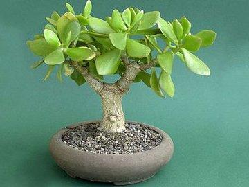 Комнатные растения, которые привлекают в дом удачу