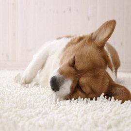 Пятно на ковре от собаки стоило арендаторам $10 тысяч
