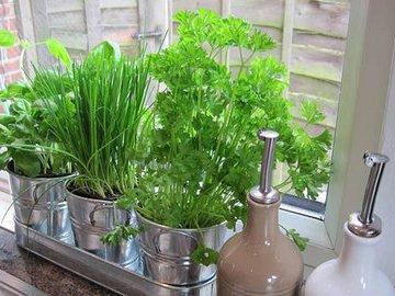 Как правильно выращивать укроп и петрушку в домашних условиях