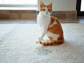 Как избавиться от запаха если нашкодила кошка
